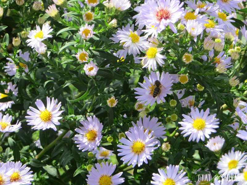 Aster lilas...