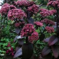 Sedum Black Beauty