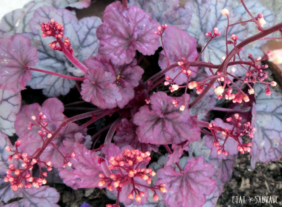 Heuchera Plum Sugar