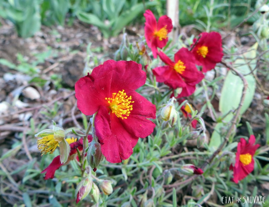 Helianthemum Rouge