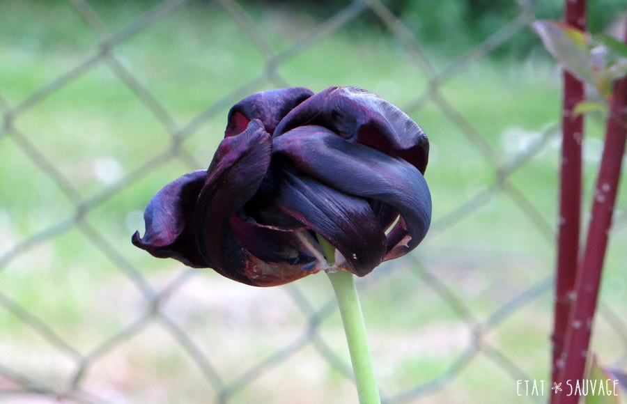 Tulipe Queen of the Night