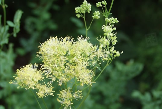 thalictrum flavum glaucum photo Pflanzenreich