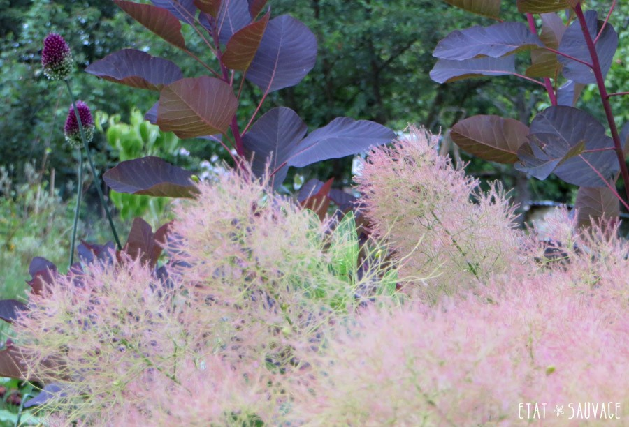 Cotinus Young Lady et cotinus Royal Purple