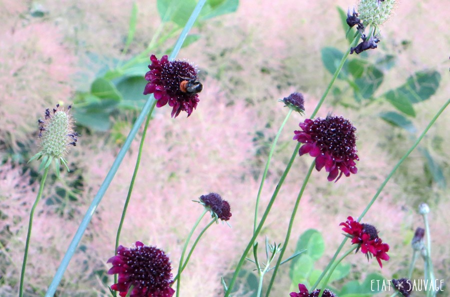 Cotinus Young Lady et Scabiosa Chile Black