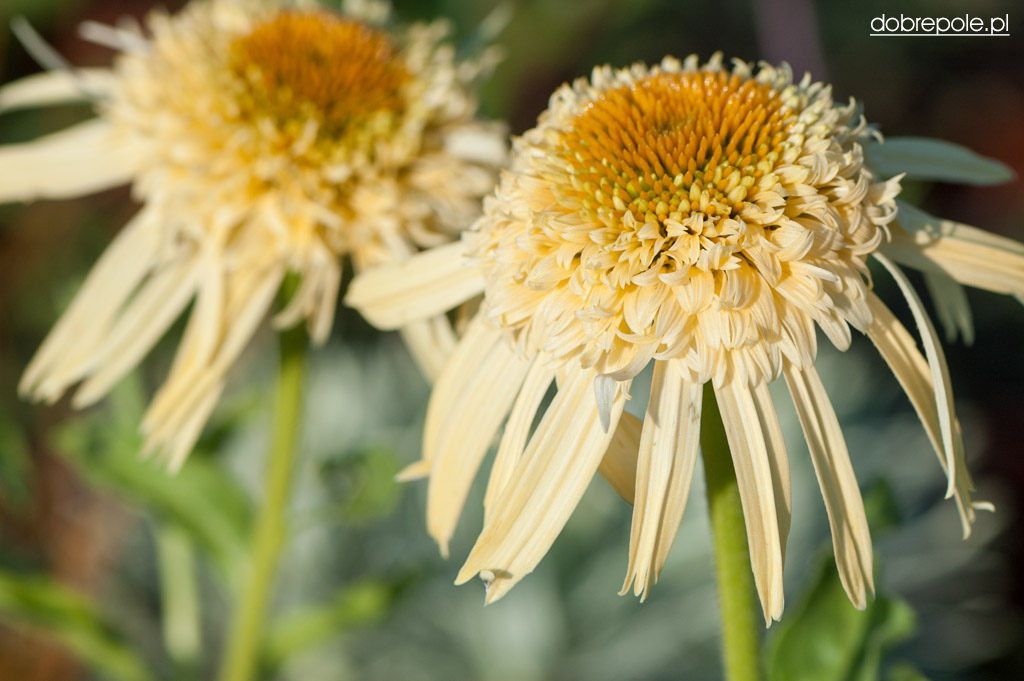 Echinacea Secret Joy (photo web)