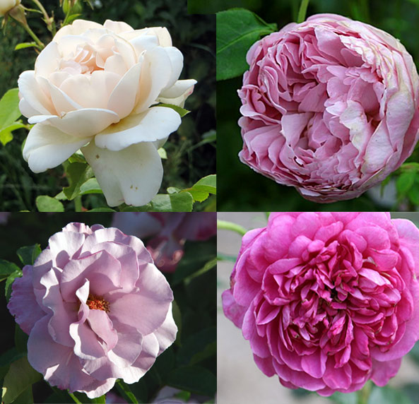 Rosier Martine Guillot, rosier Charles Rennie MackIntosh (Austin 1988), rosier Dioressence (Delbard 1984) et rosier Princess Anne (Austin 2010)