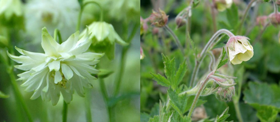 Aquilegia Green Apples et Geum Lemon Drop