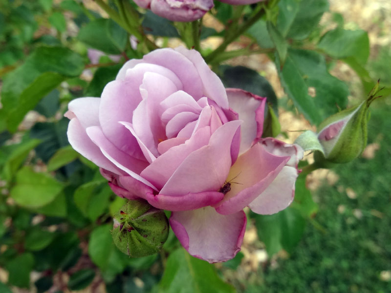 Rosier Lady Parfume (Carruth 2014)