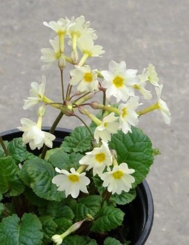 Primula Lady Greer